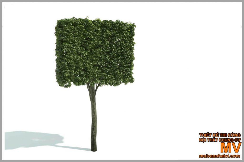 tỉa cây hình vuông