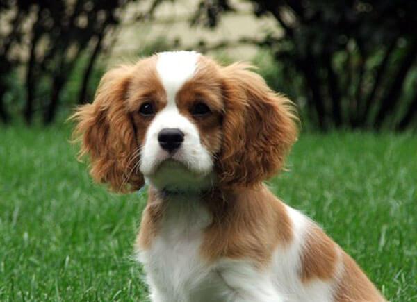 स्पेनिश कुत्ता